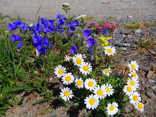 白と青の花