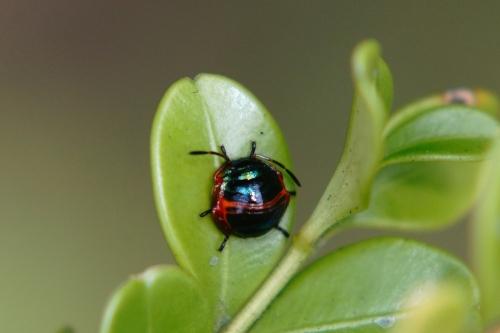 ニシキキンカメムシ幼虫