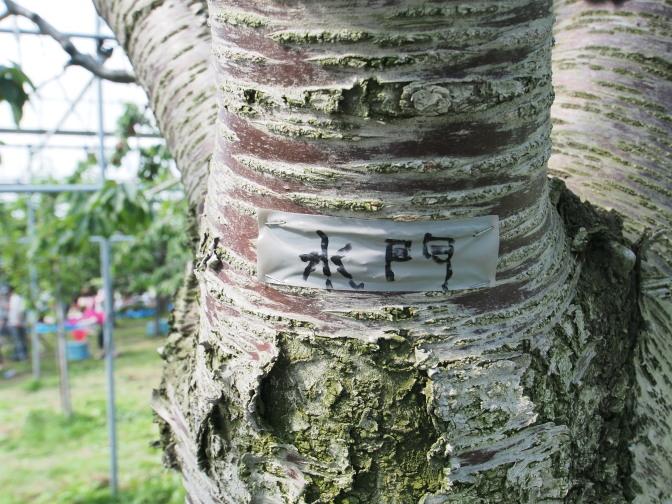 木の幹にサクランボの銘柄が記されている