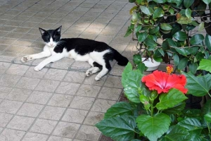 Cat and Flower (Hibiscus)