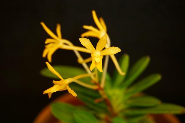 淀松の黄花
