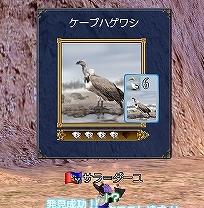 CapeGriffon.jpg