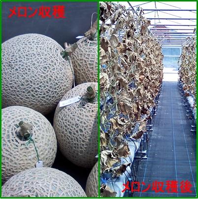 メロン収穫