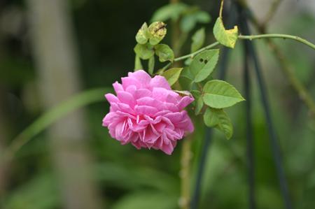 rose2015715-1.jpg