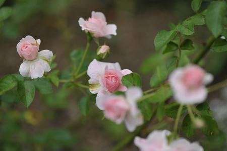 rose2015715-2.jpg