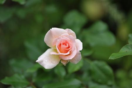 rose2015715-3.jpg