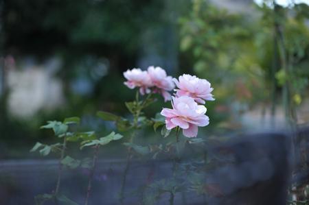 roses2015702-1.jpg