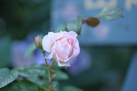 roses2015702-2.jpg