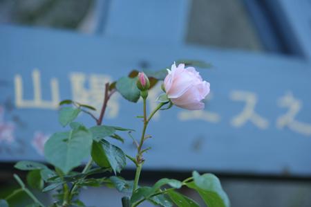 roses2015702-3.jpg