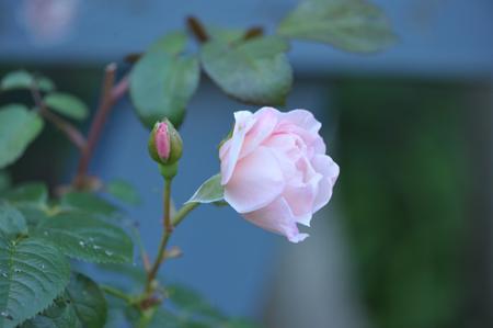 roses2015702-4.jpg