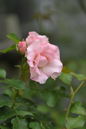 roses2015702-5.jpg