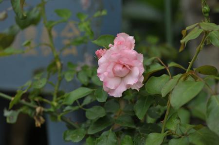 roses2015702-6.jpg