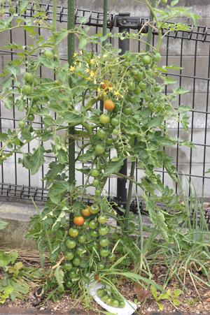 tomato2015618.jpg