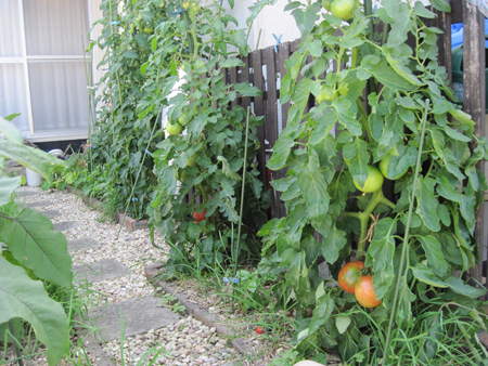 tomato2015629-1-2.jpg