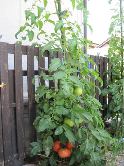 tomato2015629-1.jpg