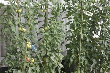 tomato2015714.jpg