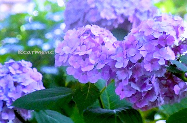 紫陽花 丸い紫