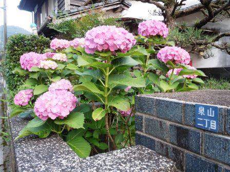 紫陽花3(2015-06-12)
