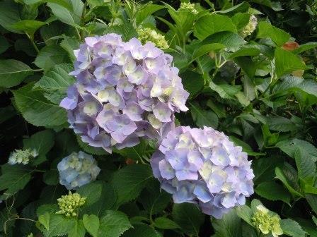 紫陽花18(2015-06-9)