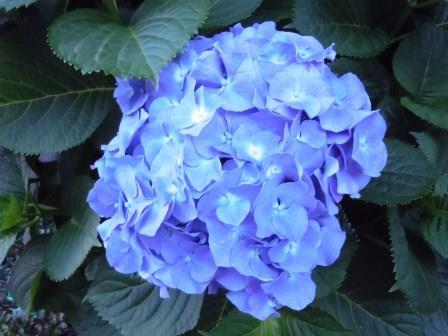 紫陽花15(2015-06-9)