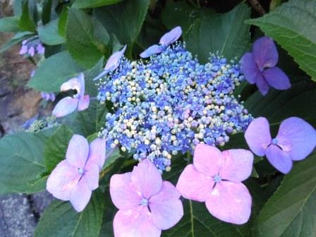 紫陽花14(2015-06-9)
