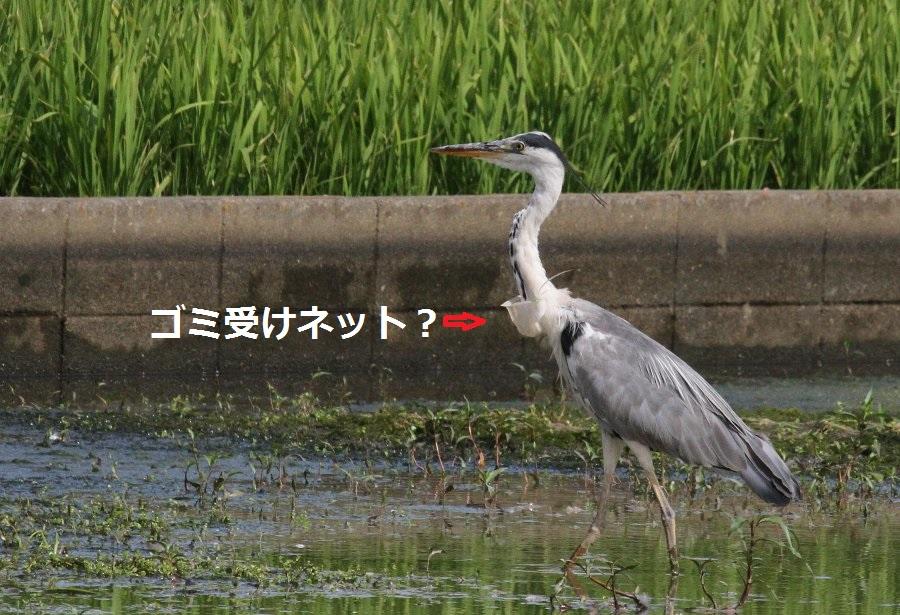 1アオサギ2015-7-21-1-t高槻市-三島江IMG_0046