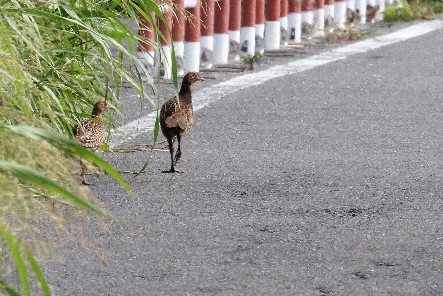 キジ2015-7-30-1-T淀川-三島江IMG_0147