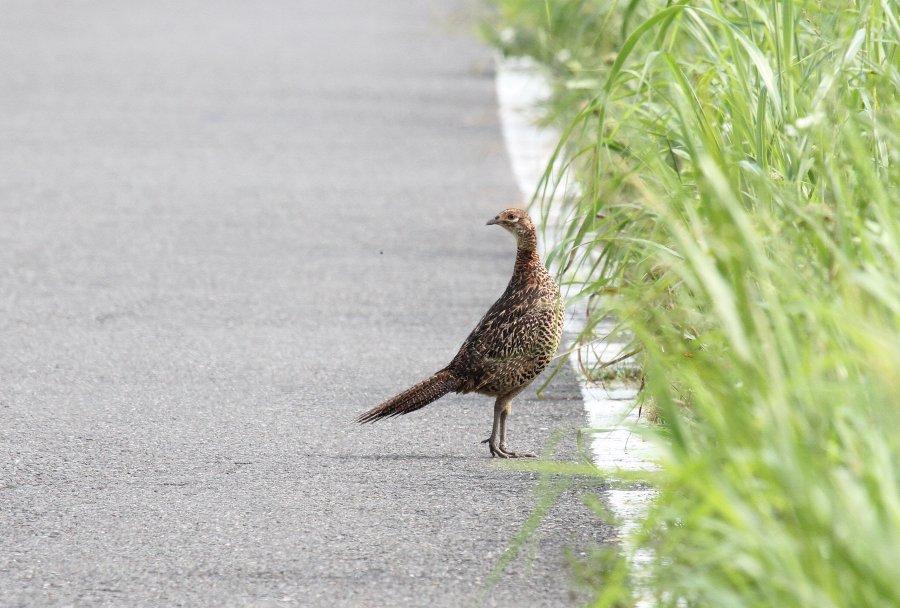 キジ2015-7-30-6-T淀川-三島江IMG_0228