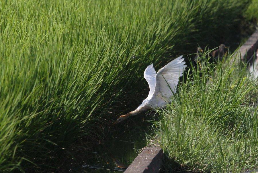 アマサギ2015-8-5-2-t高槻市-三島江IMG_0057