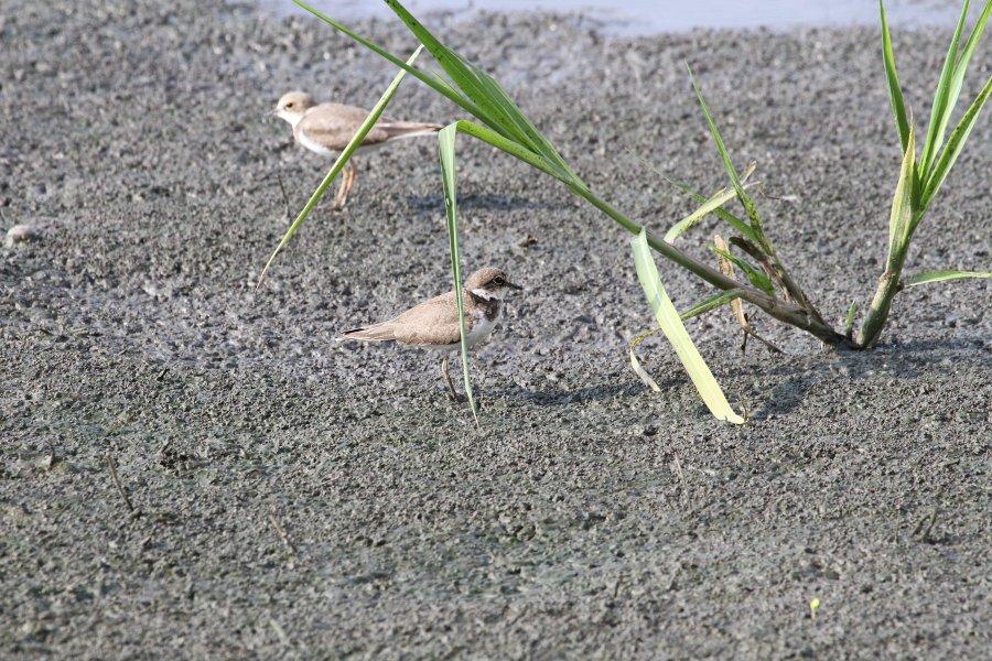 コチドリ2015-8-9-1-S高槻市-三島江IMG_0209