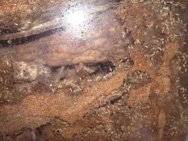 飼育のヤマトシロアリ
