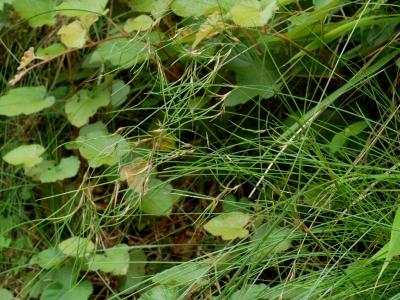芽生したオオウシノケグサ