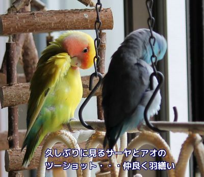 サーヤとアオの羽繕い
