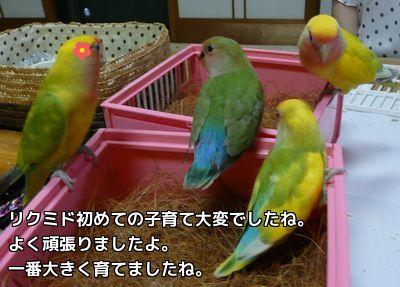ぴぃぴよ里子に行く日