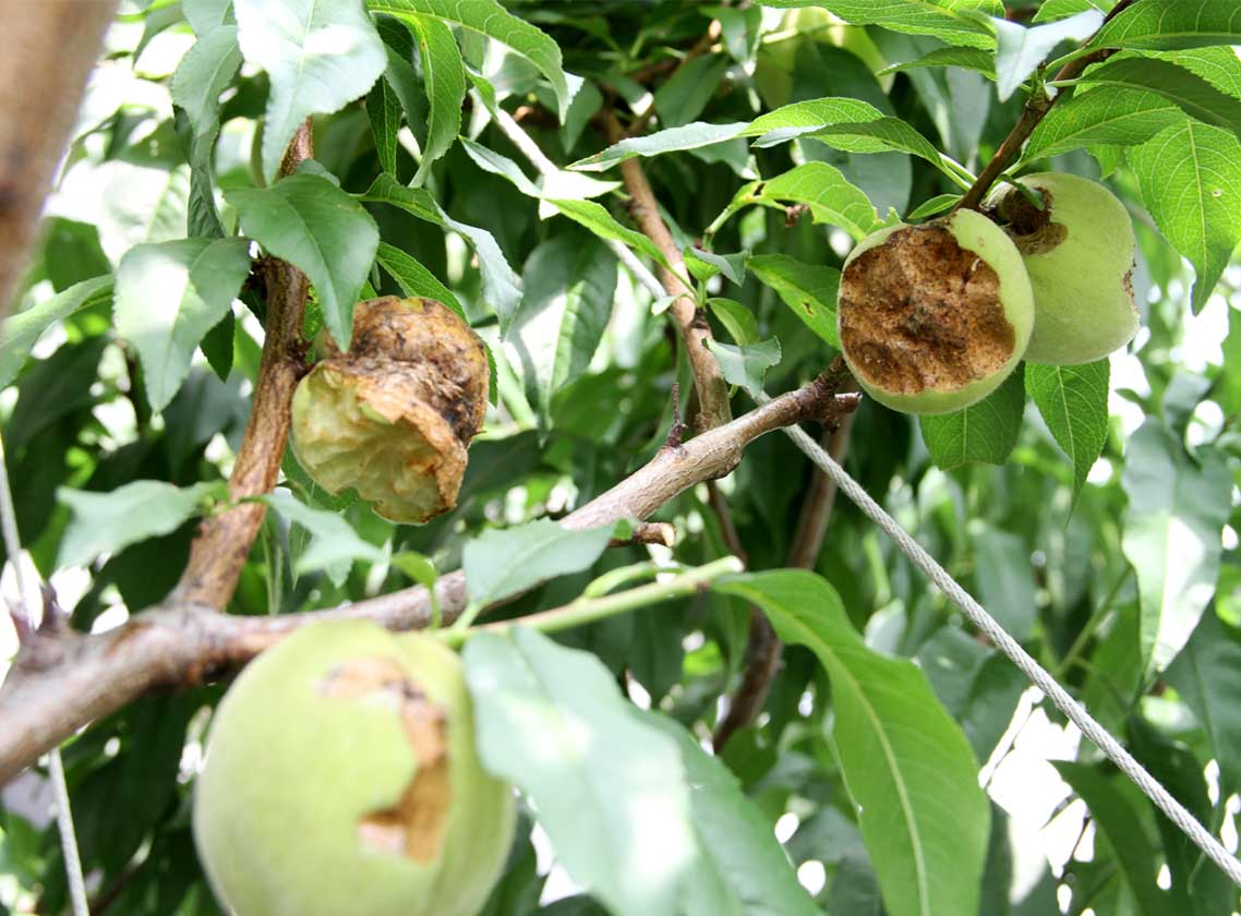 桃の食害(3) 0622