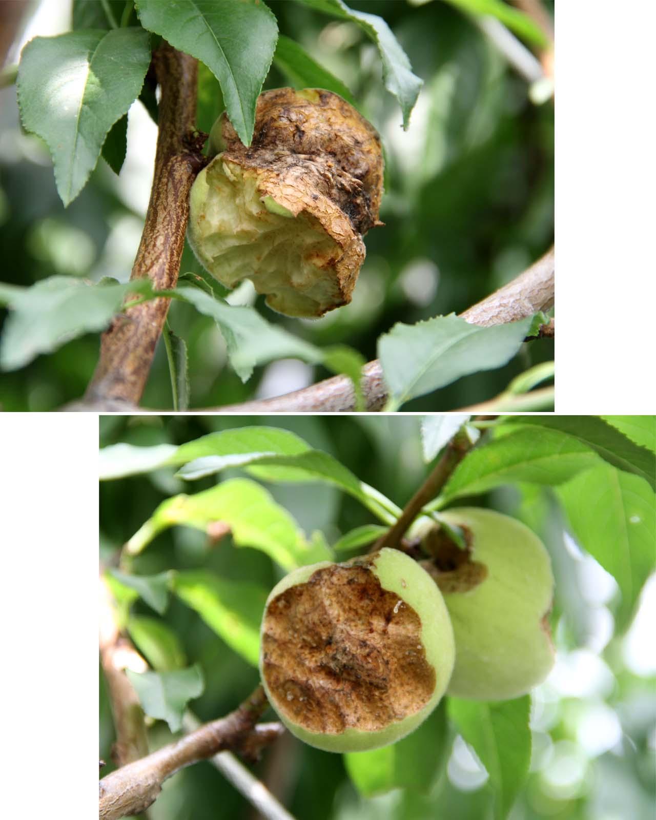桃の食害(4) 0622