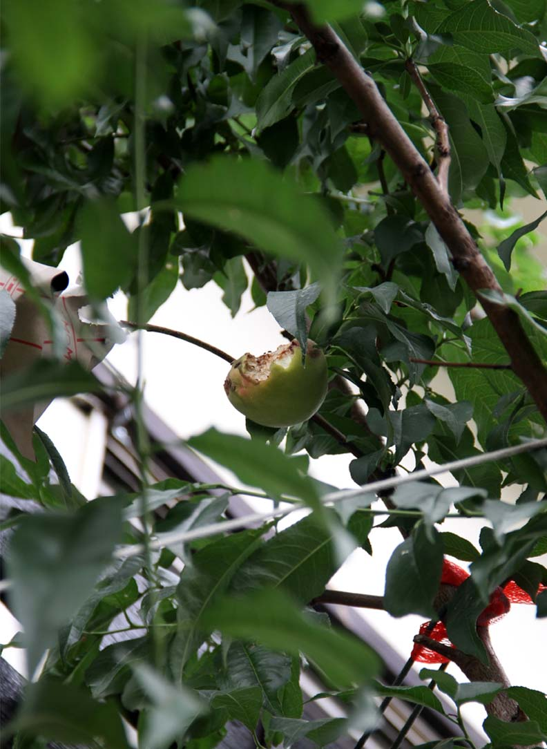桃の食害(5) 0629