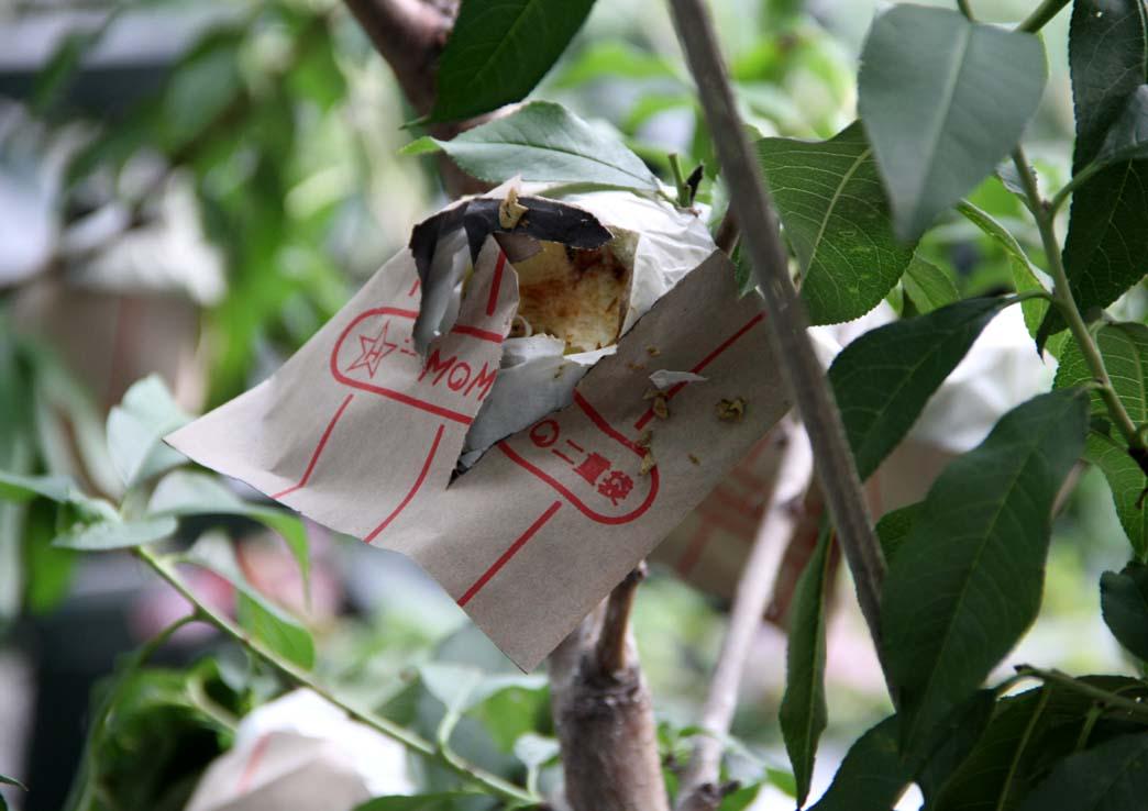 桃の食害(6) 0629