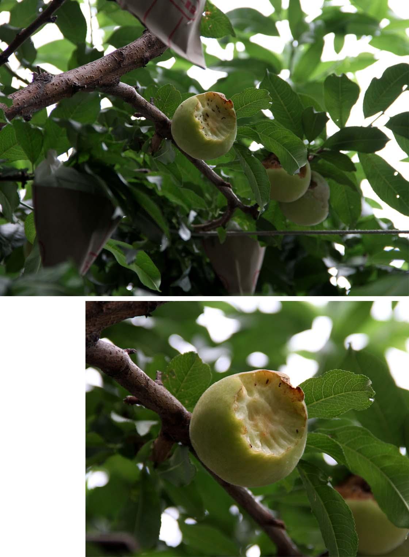 桃の食害(7) 0702