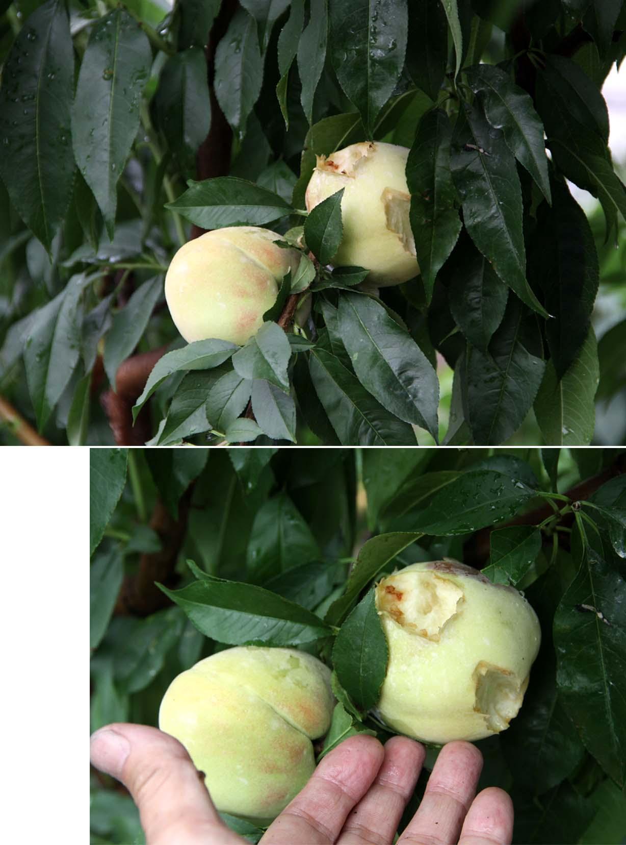 桃の食害(10) 0703