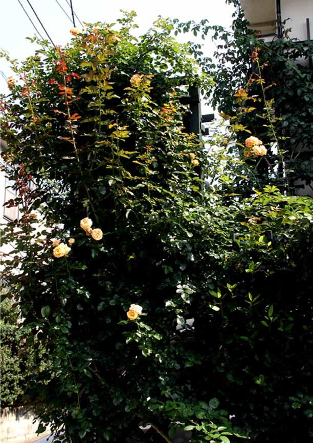7月11日のバラ模様(4)