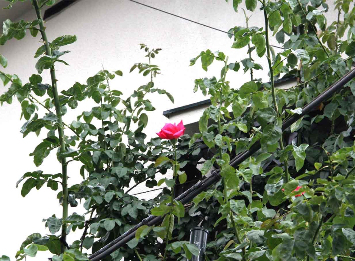 7月16日のバラ(2)