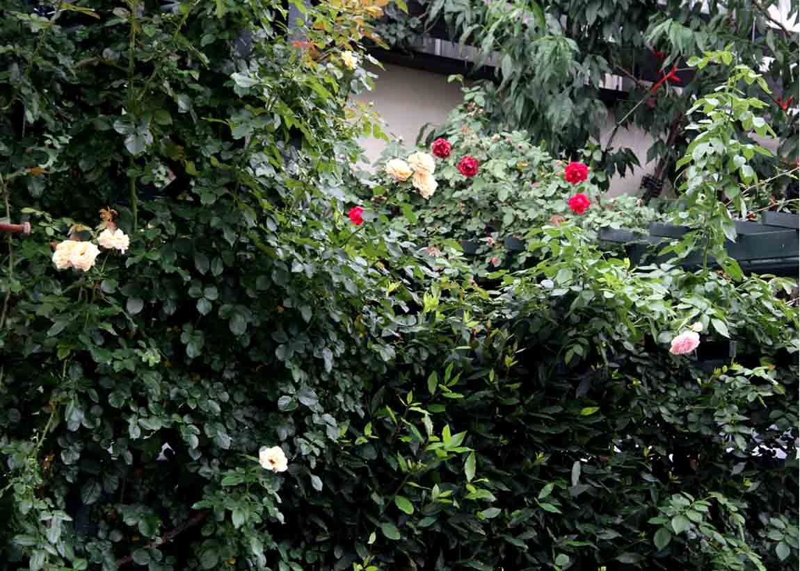 7月16日のバラ(5)