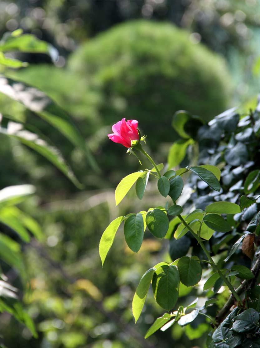 8月3日 猛暑の中のバラ(1)