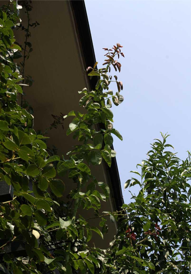 8月3日 猛暑の中のバラ(4)
