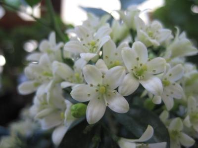 8月キンカンの花