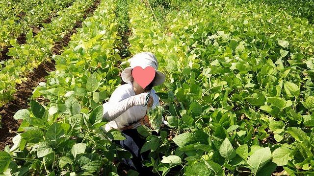 枝豆摘み2