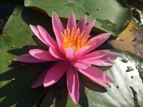 赤水公園 睡蓮 ピンク