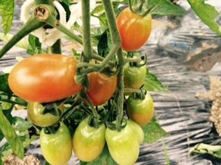 トマトハウス2015072102