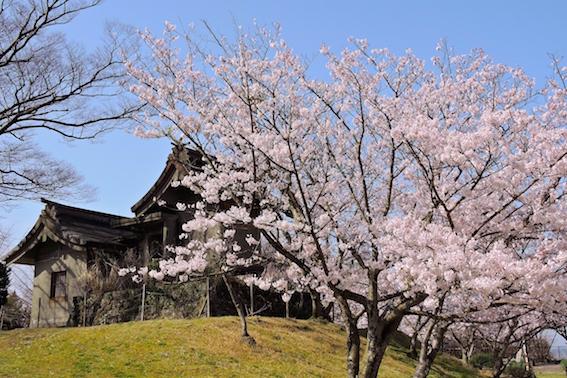 権現山の桜